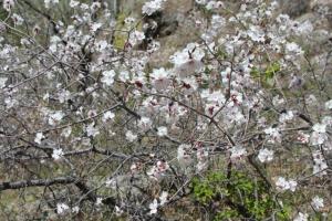 Tour & quot; Merkit Fortress, flowering wild apricot grove & quot;